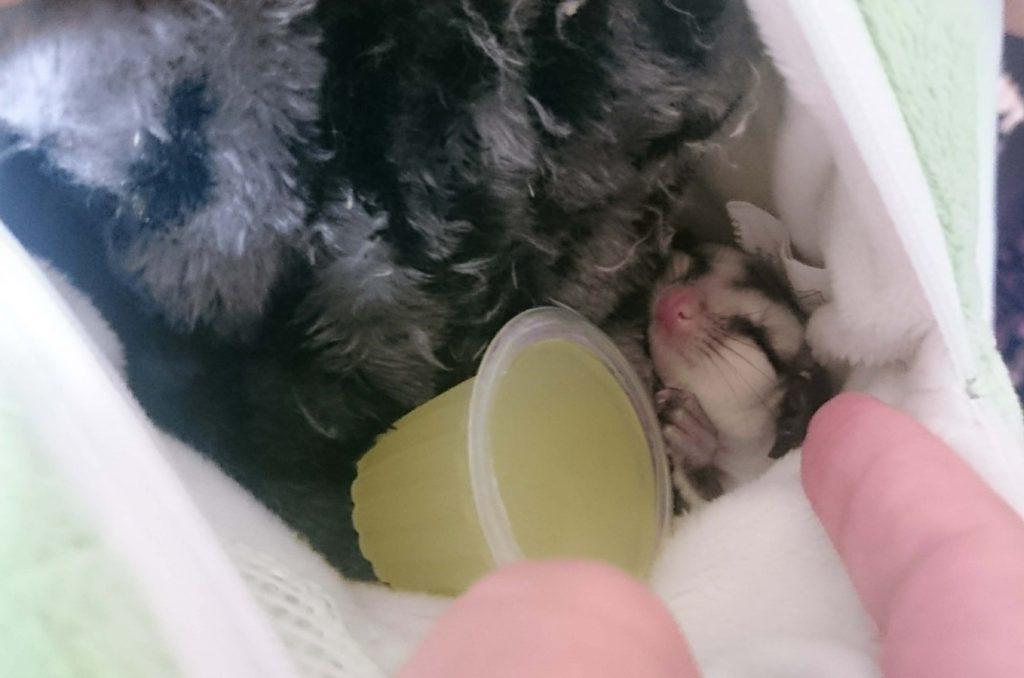 フクロモモンガ ホワイトフェイス 赤ちゃん