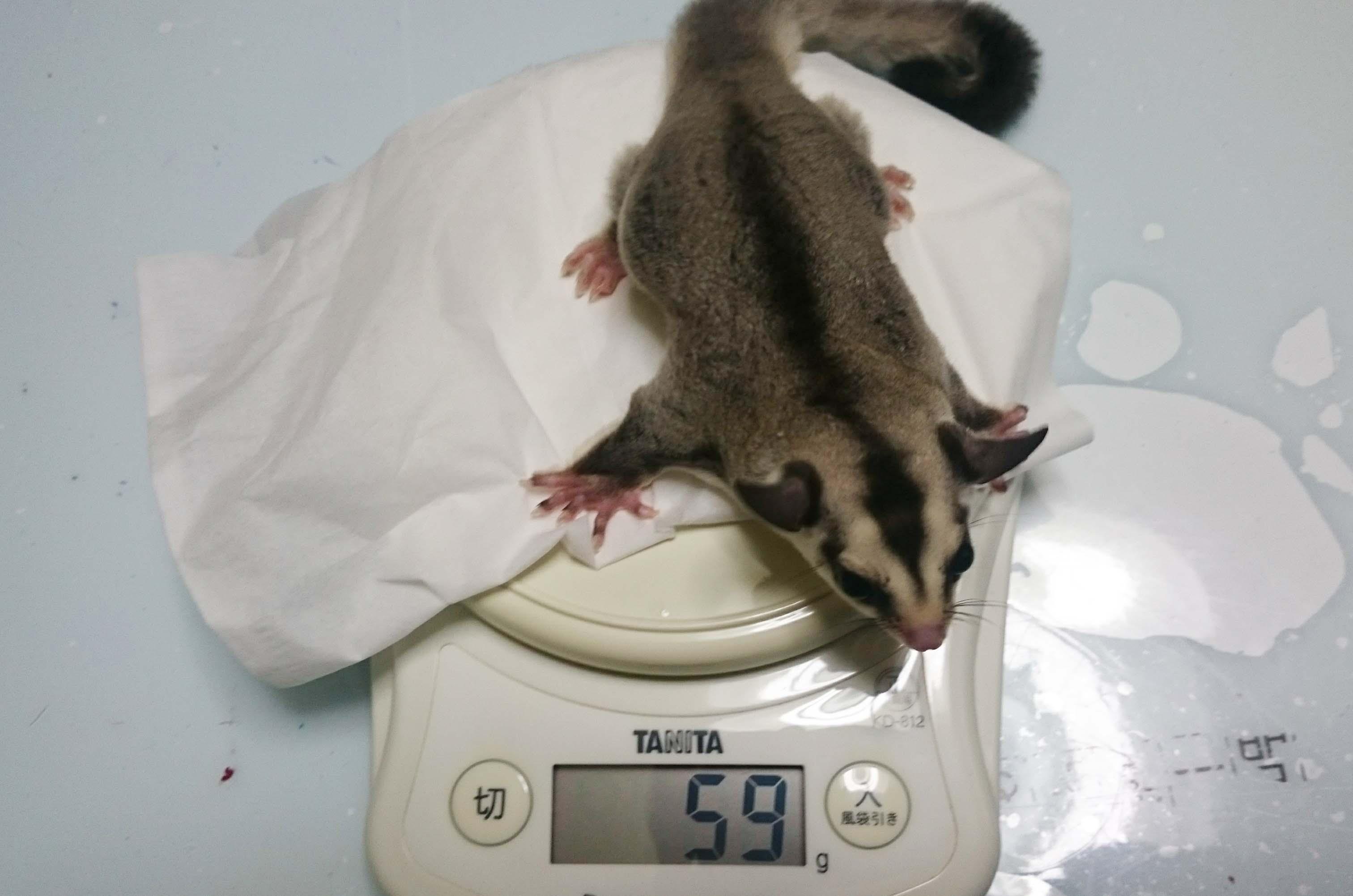フクロモモンガ ホワイトフェイス 体重