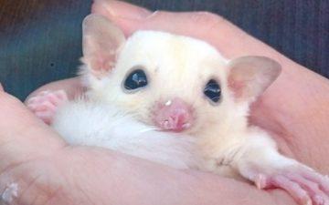 フクロモモンガ リューシ 赤ちゃん